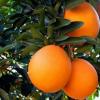 大量直供新鲜赣南脐橙好吃不上火香甜可口 精品10斤装 9省包邮