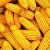 五谷源家庭农场 供应优质玉米