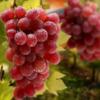供应优质葡萄 金手指葡萄