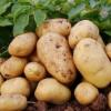 供应 优质新鲜土豆 新鲜马铃薯 绿色无公害土豆 各种出口优质新鲜蔬菜