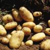 供应优质土豆 马铃薯