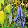 蓝焦果,猫屎瓜,猫耳屎,蓝香焦,野香焦一年苗出售!