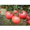 供应金鹏系列西红柿