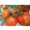浙江新鲜番茄