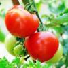 欧盾番茄种子