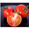 供应优质西红柿