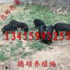 山东藏香猪养殖场供应藏香猪最新价格藏香猪养殖技术