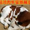 小牛改良1-3代西门塔尔牛肉牛小牛犊,牛犊养殖小牛价格多少钱