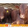 现在鲁西黄牛肉牛价格 西门塔尔牛杂交改良牛养殖 全国快速运输