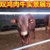 现在鲁西黄牛肉牛三元杂交牛 西门塔尔牛 厂家直销快速送货到家