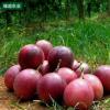 百香果 新鲜水果 5公斤包邮 鸡蛋果 西番莲 酸爽香甜