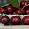 铜川市神农生态农业有限公司 大樱桃 个大味美 质量保障
