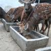 山东梅花鹿养殖场能买到 观赏梅花鹿 宠物梅花鹿 提供技术 包邮