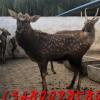 小鹿崽的价格 种公鹿 观赏梅花鹿 到山东梅花鹿养殖场 提供技术