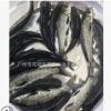 淡水青鱼苗批发 优质黑鲩鱼苗供应 鱼苗活体出售