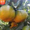 永春柑橘新鲜水果 现摘现发当季蜜桔芦柑桔子10斤批发包邮