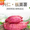 兴仁板栗薯红薯香甜粉糯五斤装 产地直供一件代发