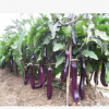 东北特产紫茄子农家自种新鲜绿色应季蔬菜长茄子一份
