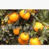 广西特产新鲜沙糖桔 薄皮应季水果 沙糖桔广西特产 批发