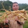 广东梅州客家传统滋补品药食同源五指毛桃根农产品土特产