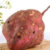 产地直销 新鲜红薯 沙地农家番薯 黄心地瓜 红皮红薯 大量批发