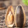 产地直销内蒙古焦糖味袋装瓜子320g 大颗粒葵花籽坚果炒货零食