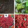 花椒种子韩城大红袍花椒种子 九叶青花椒种子 山花椒麻椒油椒树籽