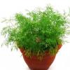 蔬菜种子 割茬小茴香种子 香料调味品庭院阳台盆栽蔬菜籽多年生