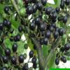 白胡椒树苗 黑胡椒苗 山胡椒地栽苗盆栽都可以当年结果南北方种植