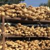安丘新鲜生姜 基地种植鲜大姜 香辣保鲜姜批发