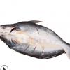 定制腌制开背凌波鱼冷冻巴沙鱼湄公鱼龙利鱼芒鱼净重2.4-2.6斤