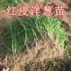 供应红皮洋葱苗,红皮高桩洋葱秧,高产洋葱