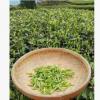 青岛特产 崂山绿茶2018新茶礼盒 特级高山炒青春茶叶 绿茶茶厂