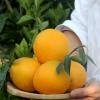 赣南脐橙20斤包邮新鲜孕妇水果现摘不催熟多汁甜橙子一件代发