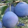 西梅李子苗基地价格便宜大量批发李子树苗可南北方种植李子树苗