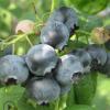 薄雾蓝莓苗基地规格齐全常年供应蓝莓苗丰产稳产嫁接蓝莓苗