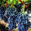 嫁接甜蜜蓝宝石葡萄树苗 大棚种植 一公分现货葡萄树苗价格