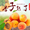 预售 陕西大荔大黄杏5斤当季新鲜现摘金太阳酸甜多汁杏子非贵妃杏