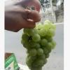 关口葡萄富硒葡萄白葡萄建始葡萄原产地批发零售葡萄苗批发